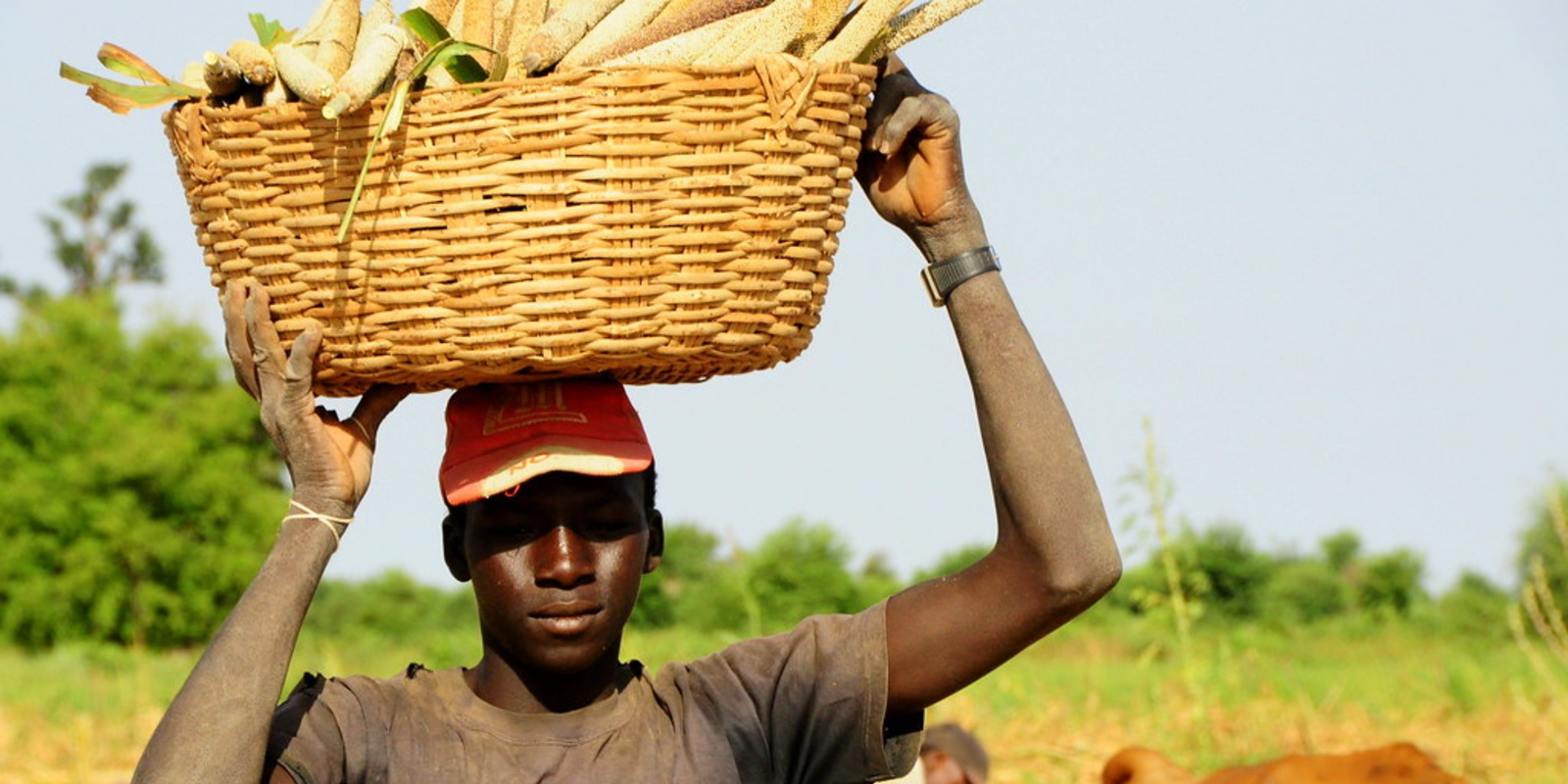 Farmer carrying crops from the field. Picture from the village of Bouwéré in Mali